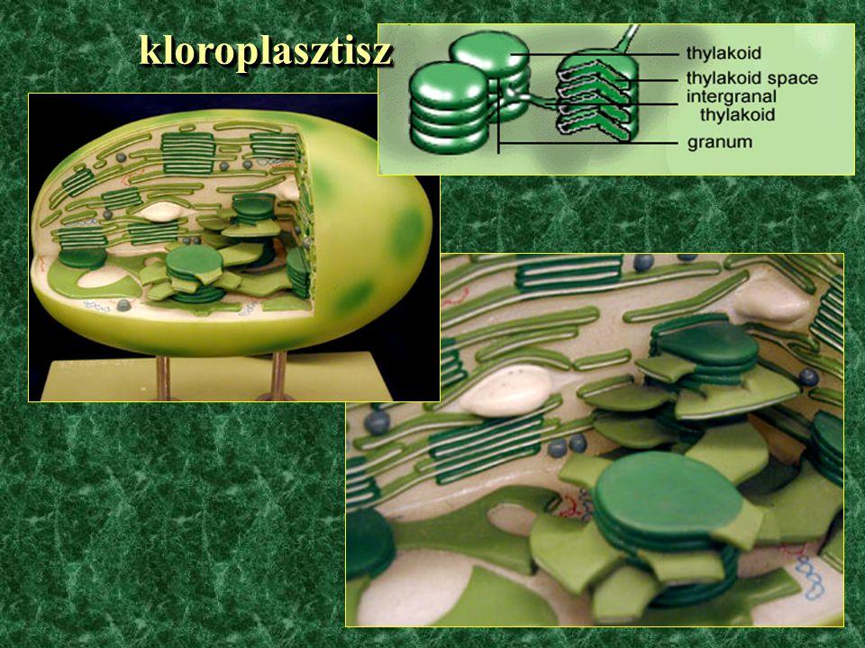 kloroplasztisz