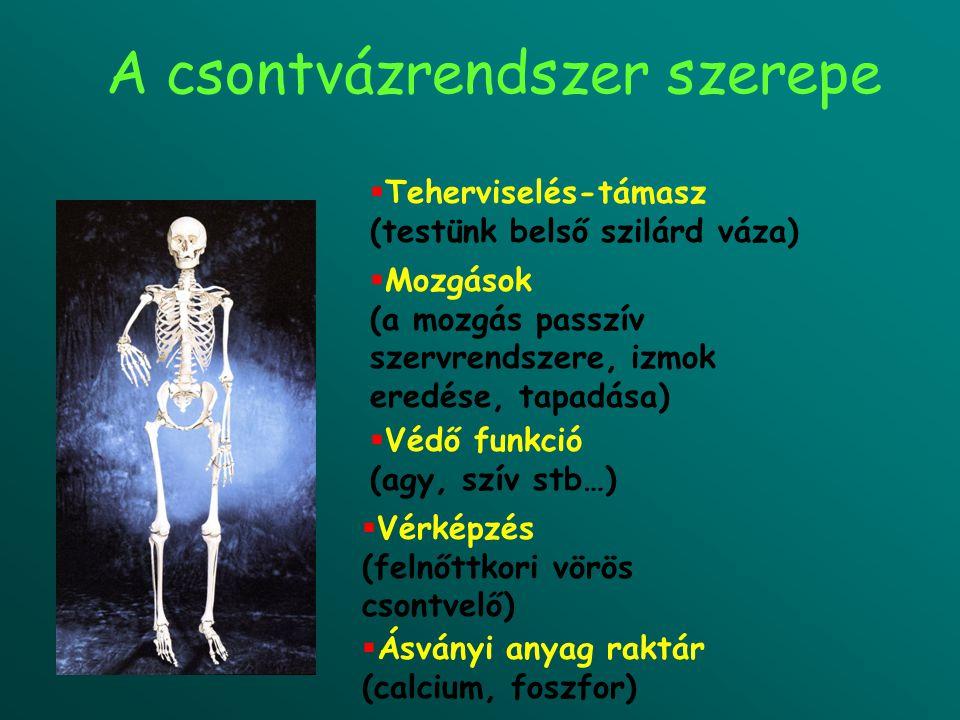 A csontvázrendszer szerepe