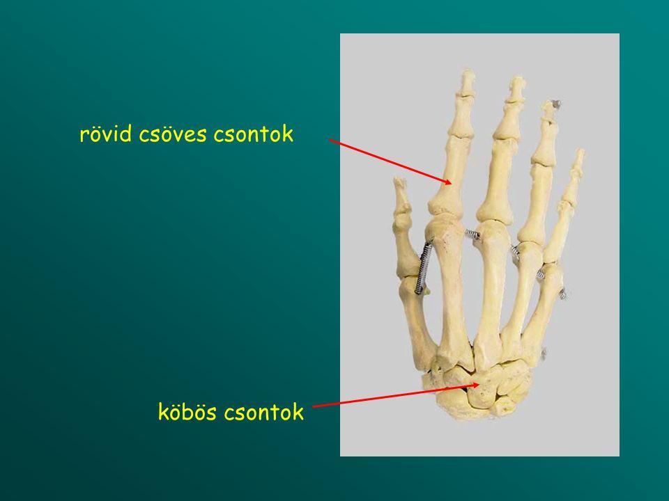 rövid csöves csontok köbös csontok