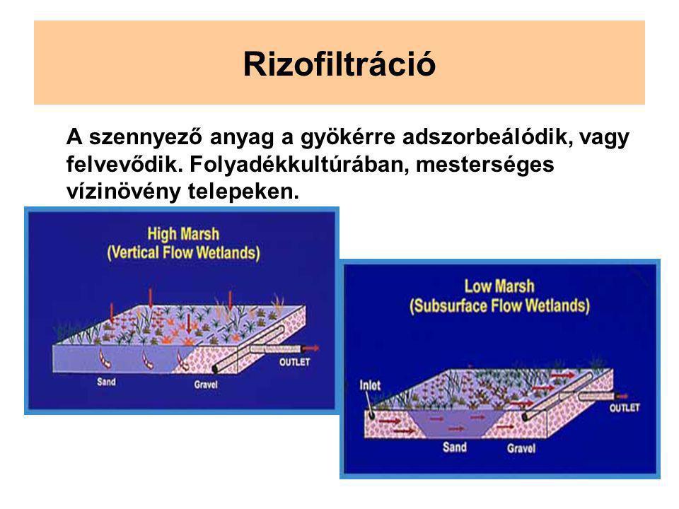 Rizofiltráció A szennyező anyag a gyökérre adszorbeálódik, vagy felvevődik.
