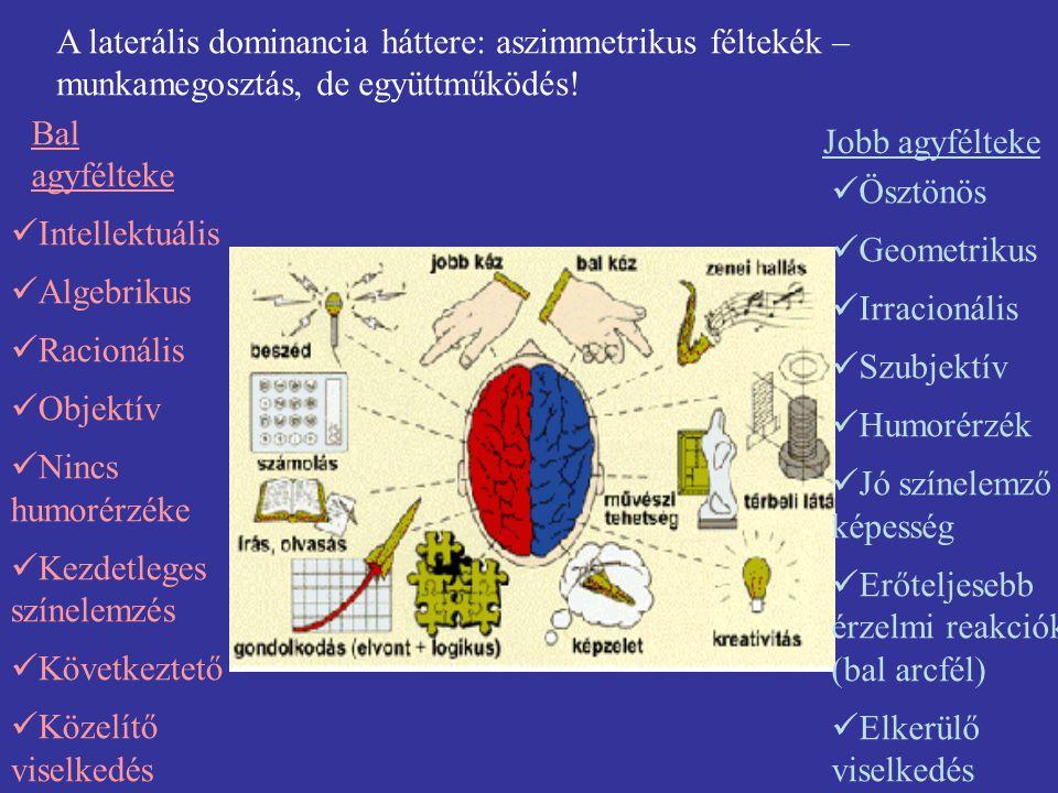 A laterális dominancia háttere: aszimmetrikus féltekék – munkamegosztás, de együttműködés!