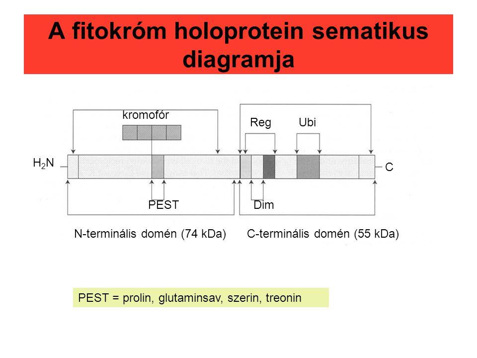 A fitokróm holoprotein sematikus diagramja