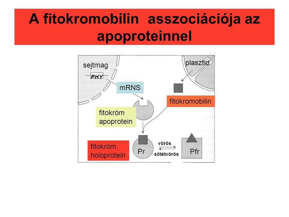 A fitokromobilin asszociációja az apoproteinnel