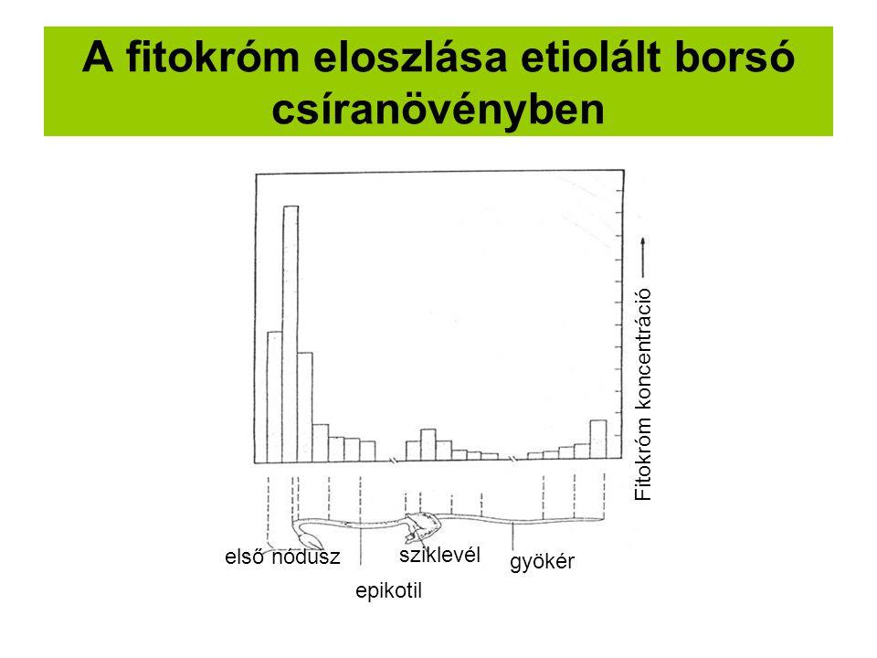 A fitokróm eloszlása etiolált borsó csíranövényben