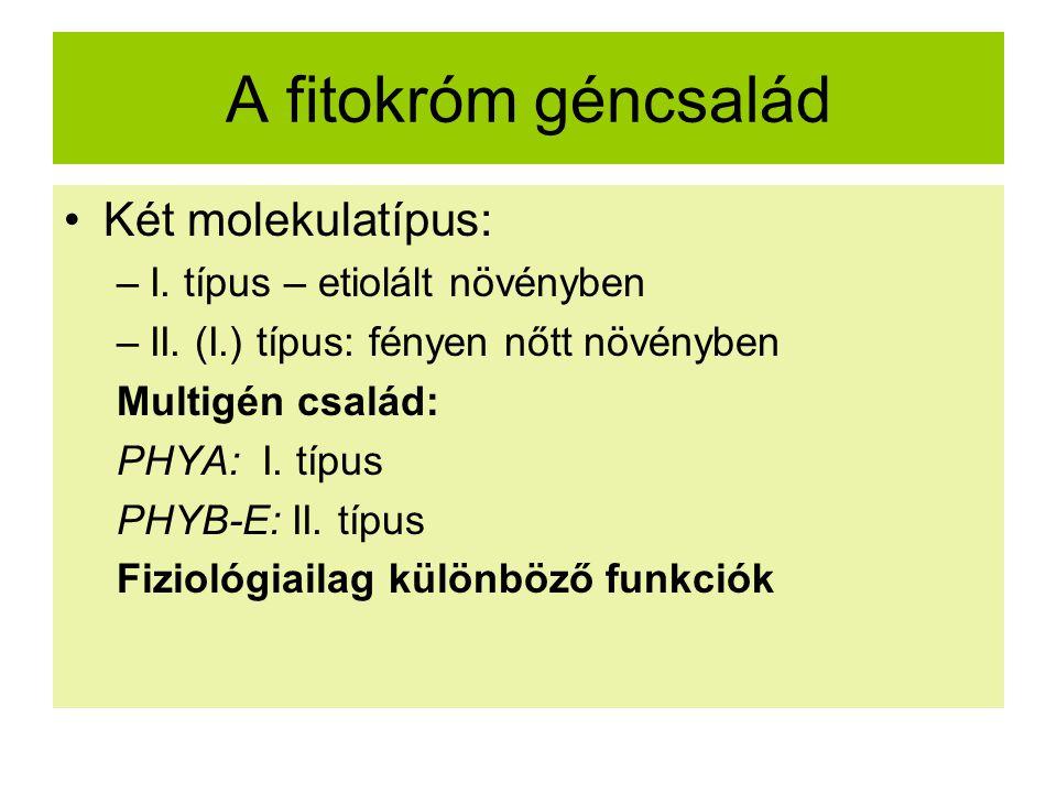 A fitokróm géncsalád Két molekulatípus: I. típus – etiolált növényben