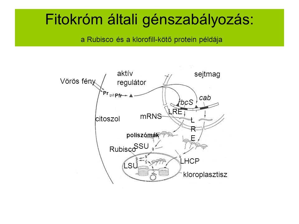 Fitokróm általi génszabályozás: a Rubisco és a klorofill-kötő protein példája