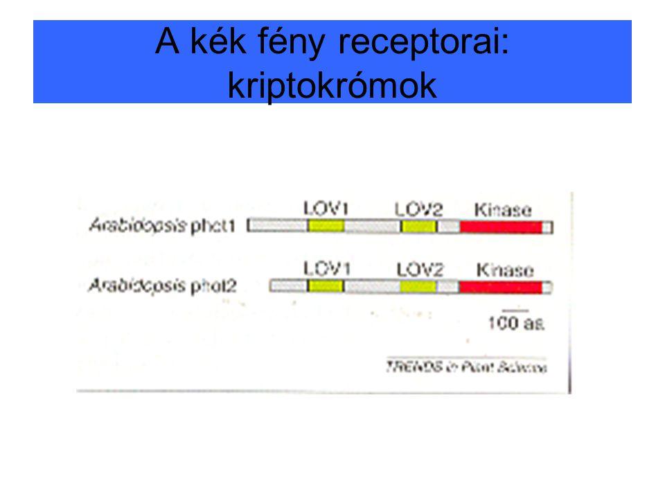 A kék fény receptorai: kriptokrómok