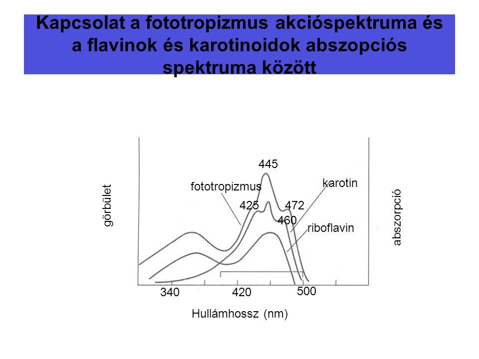 Kapcsolat a fototropizmus akcióspektruma és a flavinok és karotinoidok abszopciós spektruma között