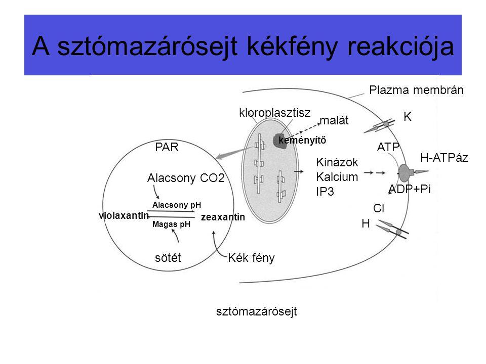A sztómazárósejt kékfény reakciója