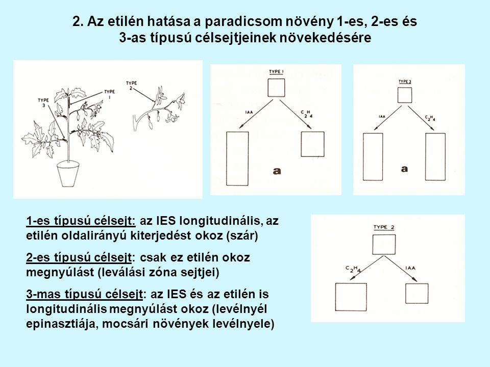 2. Az etilén hatása a paradicsom növény 1-es, 2-es és 3-as típusú célsejtjeinek növekedésére