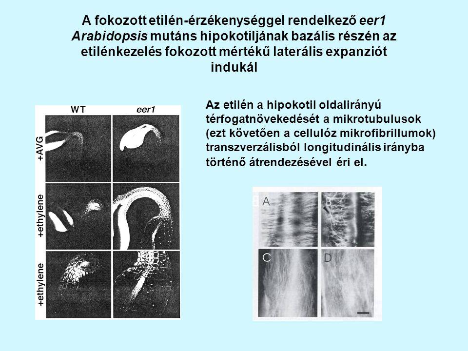 A fokozott etilén-érzékenységgel rendelkező eer1 Arabidopsis mutáns hipokotiljának bazális részén az etilénkezelés fokozott mértékű laterális expanziót indukál