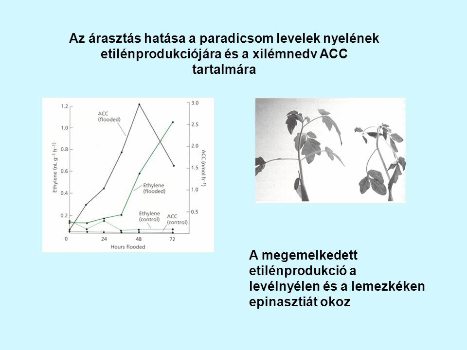 Az árasztás hatása a paradicsom levelek nyelének etilénprodukciójára és a xilémnedv ACC tartalmára