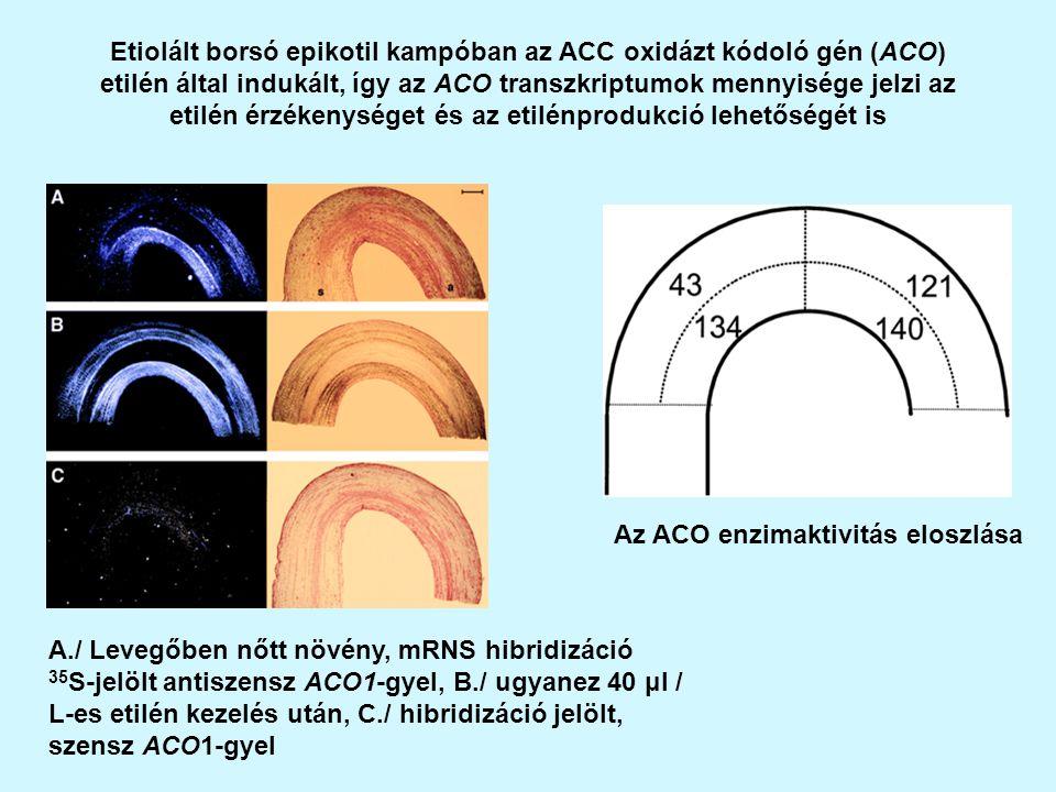 Etiolált borsó epikotil kampóban az ACC oxidázt kódoló gén (ACO) etilén által indukált, így az ACO transzkriptumok mennyisége jelzi az etilén érzékenységet és az etilénprodukció lehetőségét is