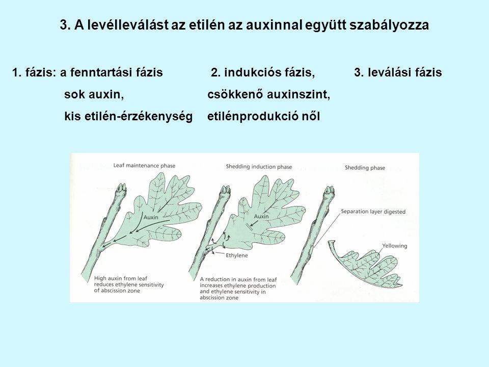 3. A levélleválást az etilén az auxinnal együtt szabályozza
