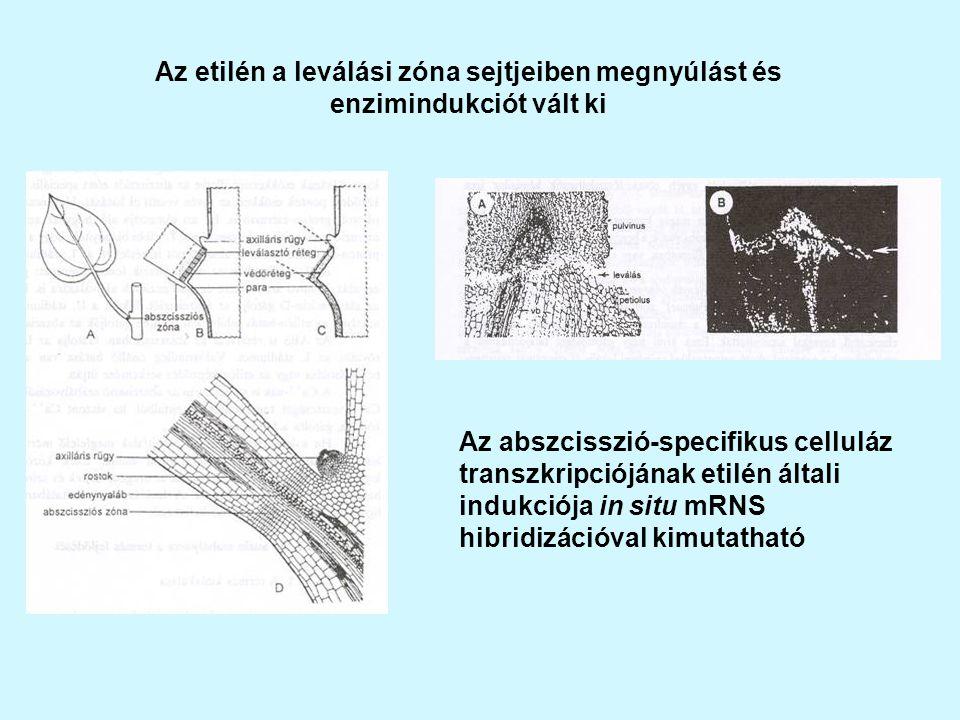 Az etilén a leválási zóna sejtjeiben megnyúlást és enzimindukciót vált ki