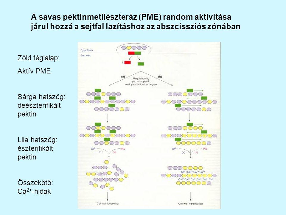 A savas pektinmetilészteráz (PME) random aktivitása járul hozzá a sejtfal lazításhoz az abszcissziós zónában