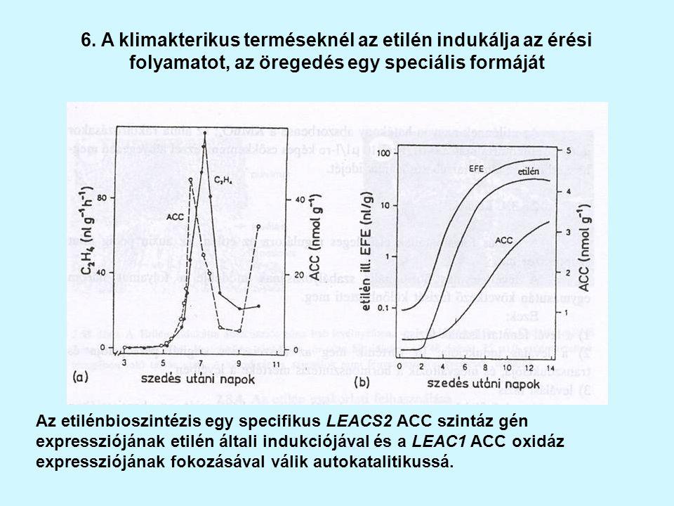 6. A klimakterikus terméseknél az etilén indukálja az érési folyamatot, az öregedés egy speciális formáját