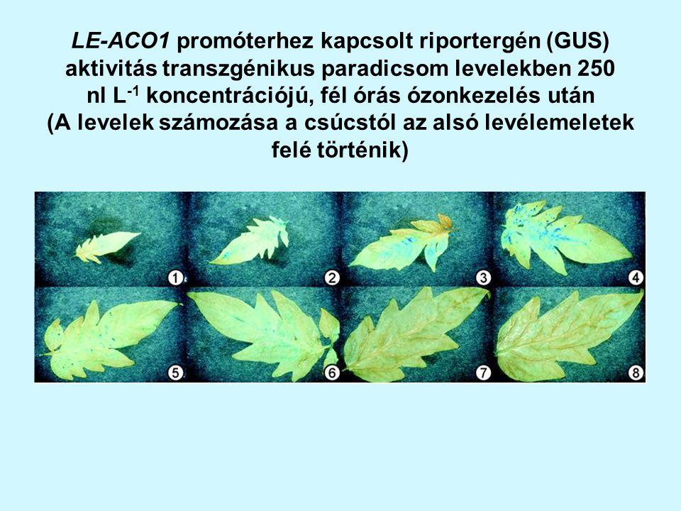 LE-ACO1 promóterhez kapcsolt riportergén (GUS) aktivitás transzgénikus paradicsom levelekben 250 nl L-1 koncentrációjú, fél órás ózonkezelés után (A levelek számozása a csúcstól az alsó levélemeletek felé történik)