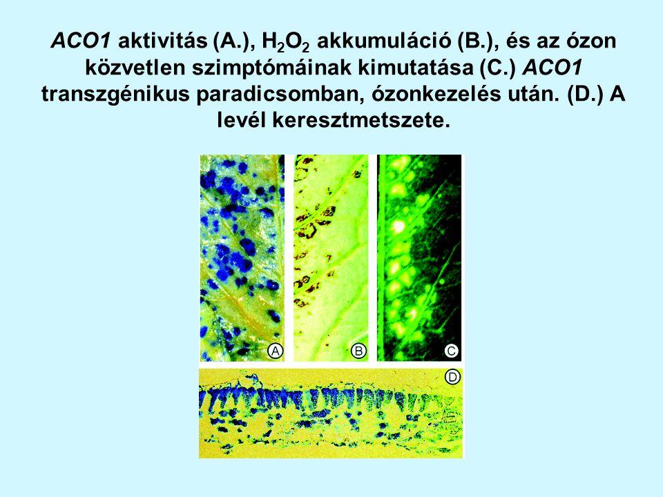 ACO1 aktivitás (A. ), H2O2 akkumuláció (B