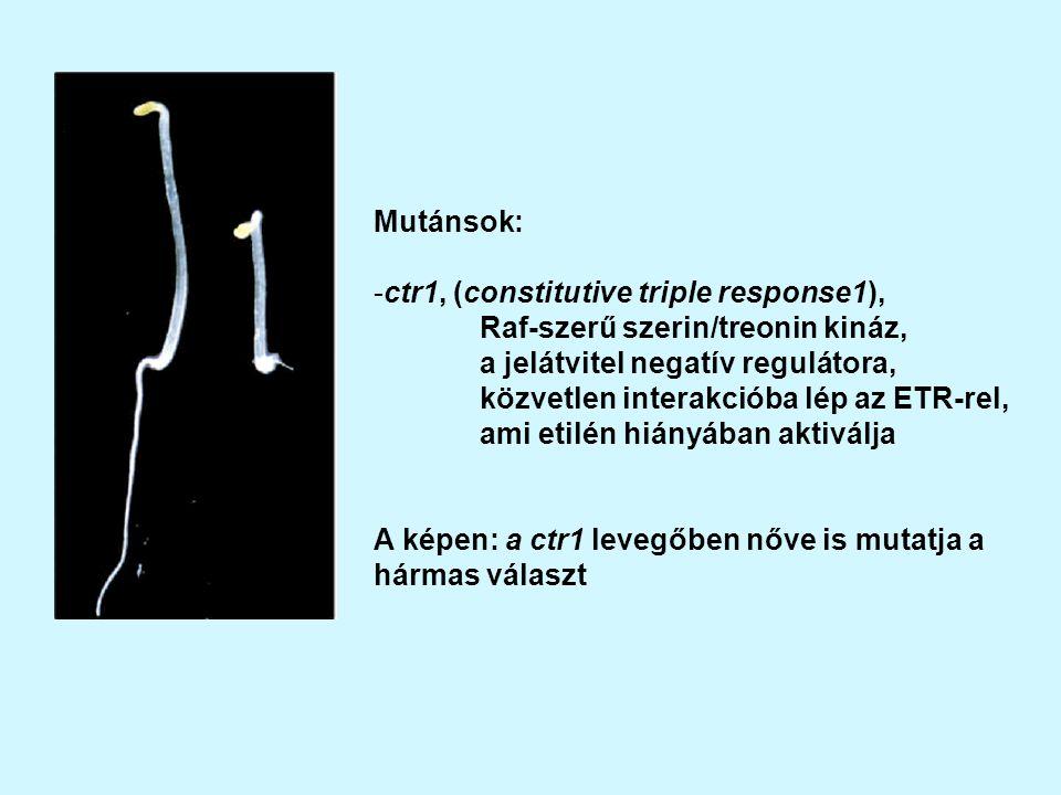 Mutánsok: ctr1, (constitutive triple response1), Raf-szerű szerin/treonin kináz, a jelátvitel negatív regulátora,