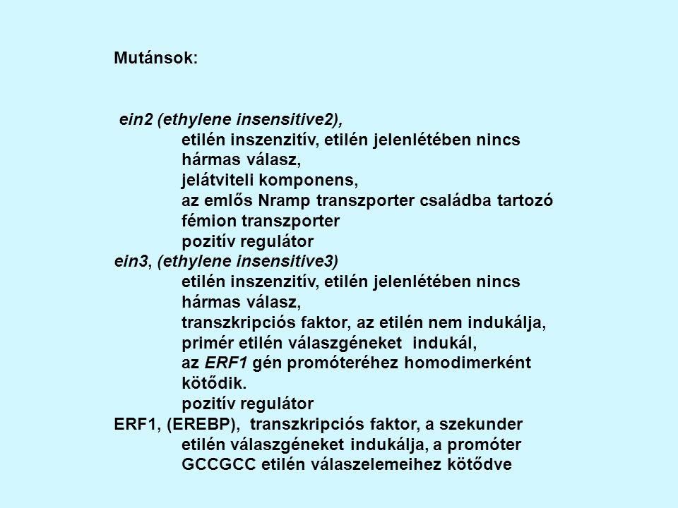 Mutánsok: ein2 (ethylene insensitive2), etilén inszenzitív, etilén jelenlétében nincs hármas válasz,