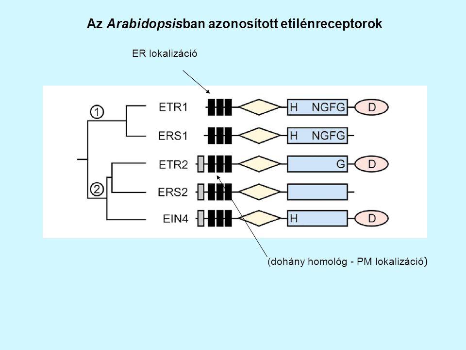 Az Arabidopsisban azonosított etilénreceptorok
