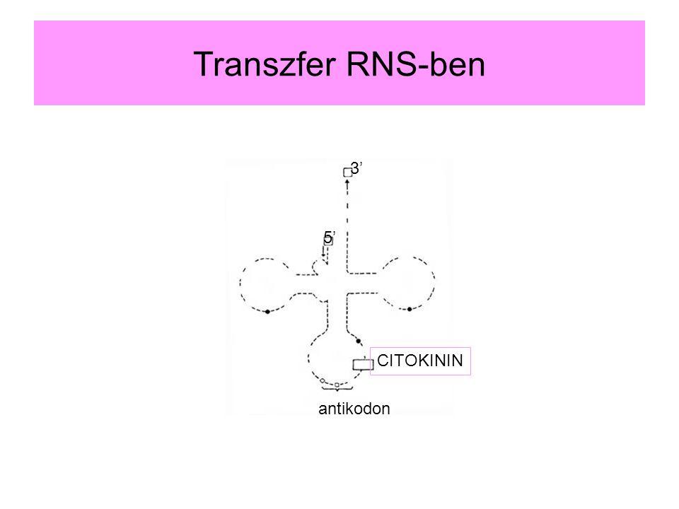 Transzfer RNS-ben 3' 5' CITOKININ antikodon
