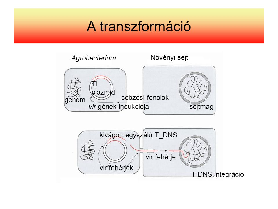 A transzformáció Agrobacterium Növényi sejt Ti plazmid sebzési fenolok
