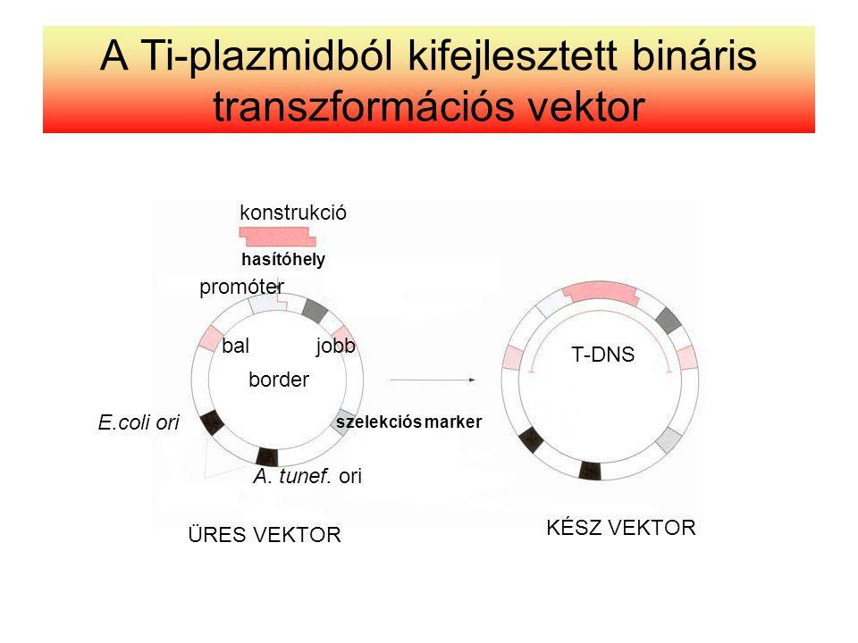 A Ti-plazmidból kifejlesztett bináris transzformációs vektor