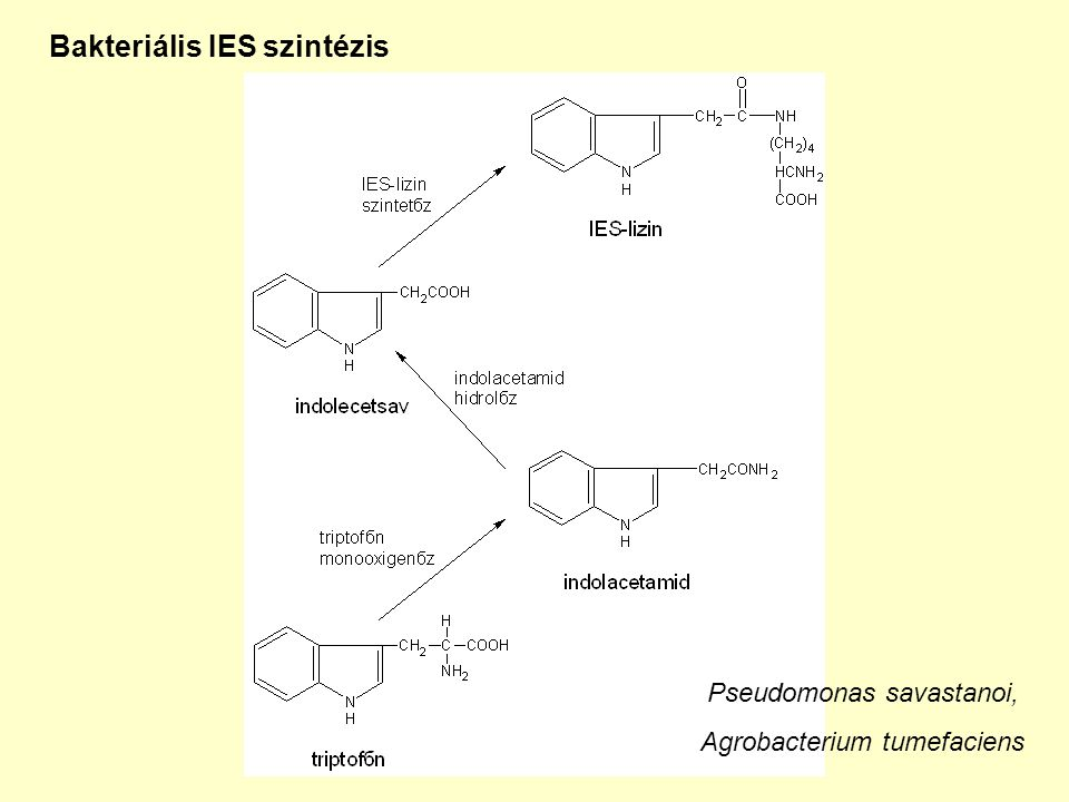 Bakteriális IES szintézis