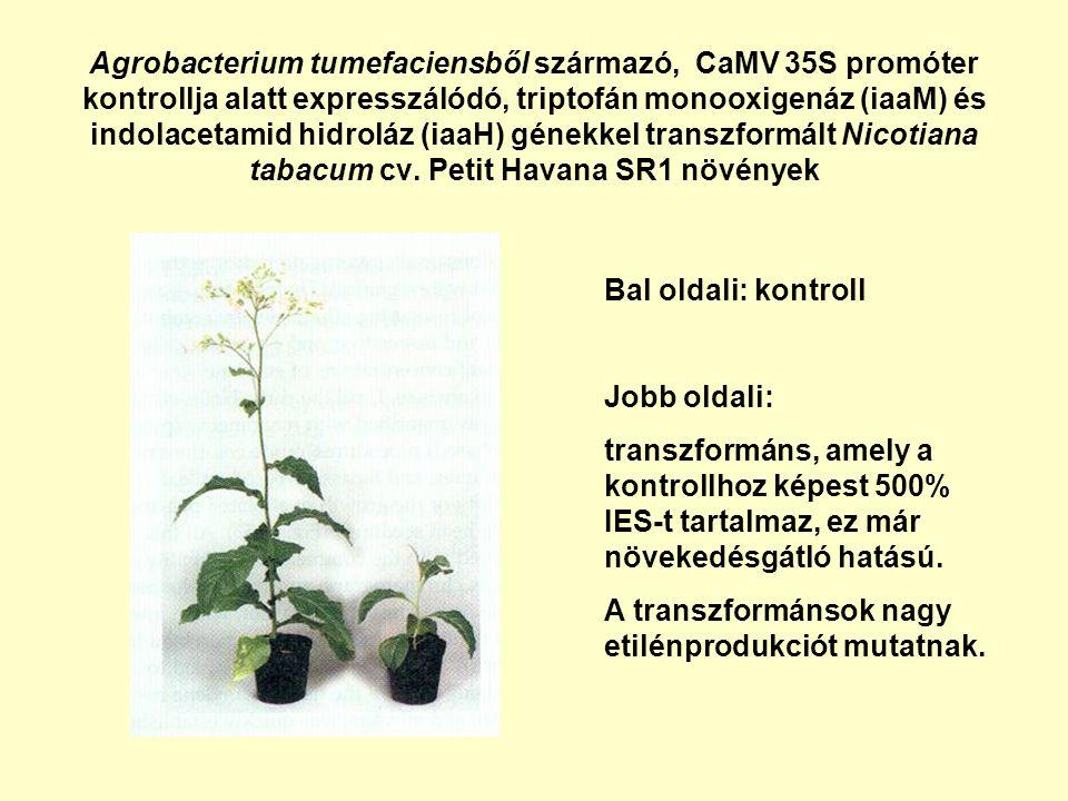 Agrobacterium tumefaciensből származó, CaMV 35S promóter kontrollja alatt expresszálódó, triptofán monooxigenáz (iaaM) és indolacetamid hidroláz (iaaH) génekkel transzformált Nicotiana tabacum cv. Petit Havana SR1 növények