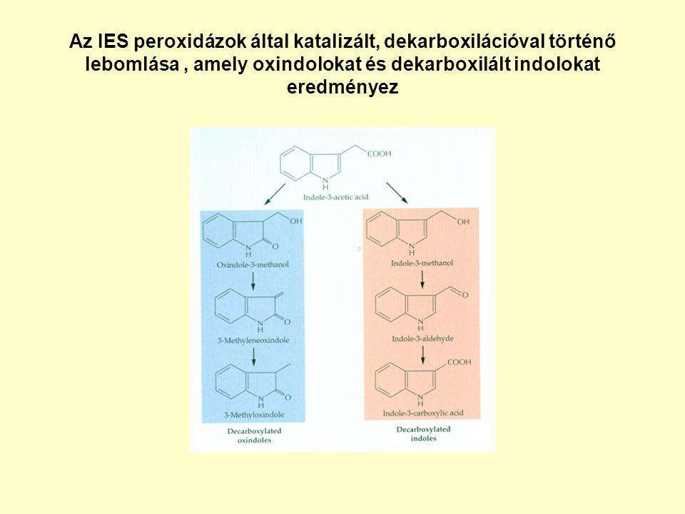 Az IES peroxidázok által katalizált, dekarboxilációval történő lebomlása , amely oxindolokat és dekarboxilált indolokat eredményez