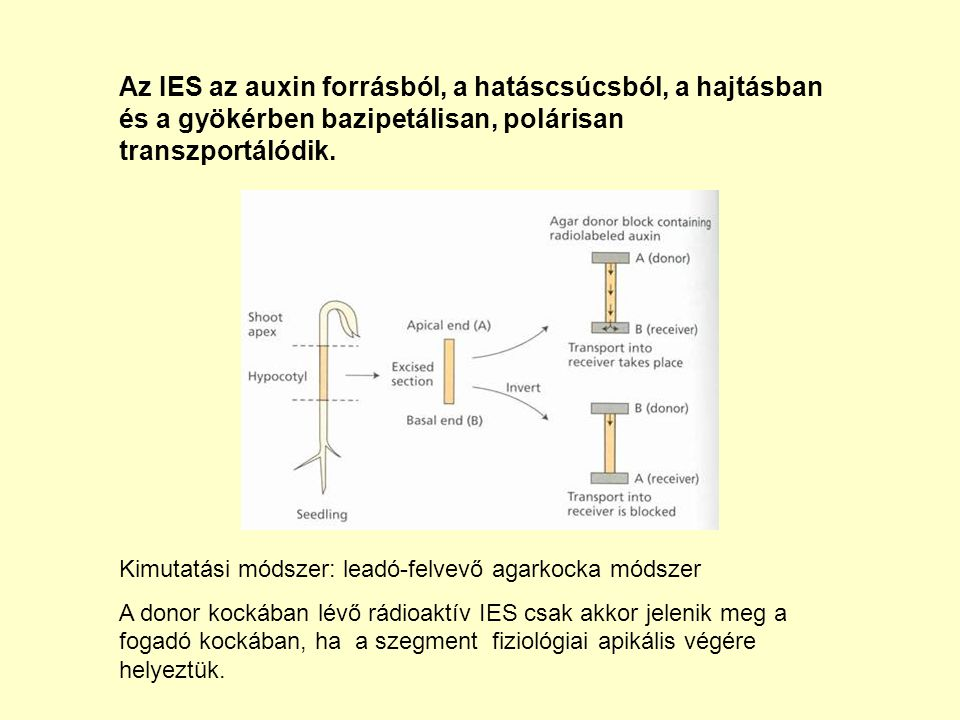 Az IES az auxin forrásból, a hatáscsúcsból, a hajtásban és a gyökérben bazipetálisan, polárisan transzportálódik.