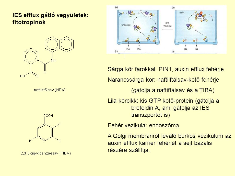 IES efflux gátló vegyületek: fitotropinok