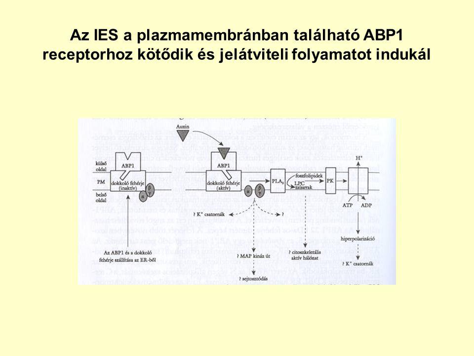 Az IES a plazmamembránban található ABP1 receptorhoz kötődik és jelátviteli folyamatot indukál