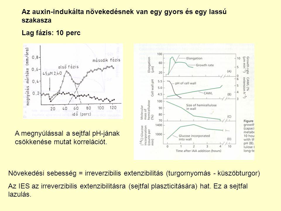 Az auxin-indukálta növekedésnek van egy gyors és egy lassú szakasza