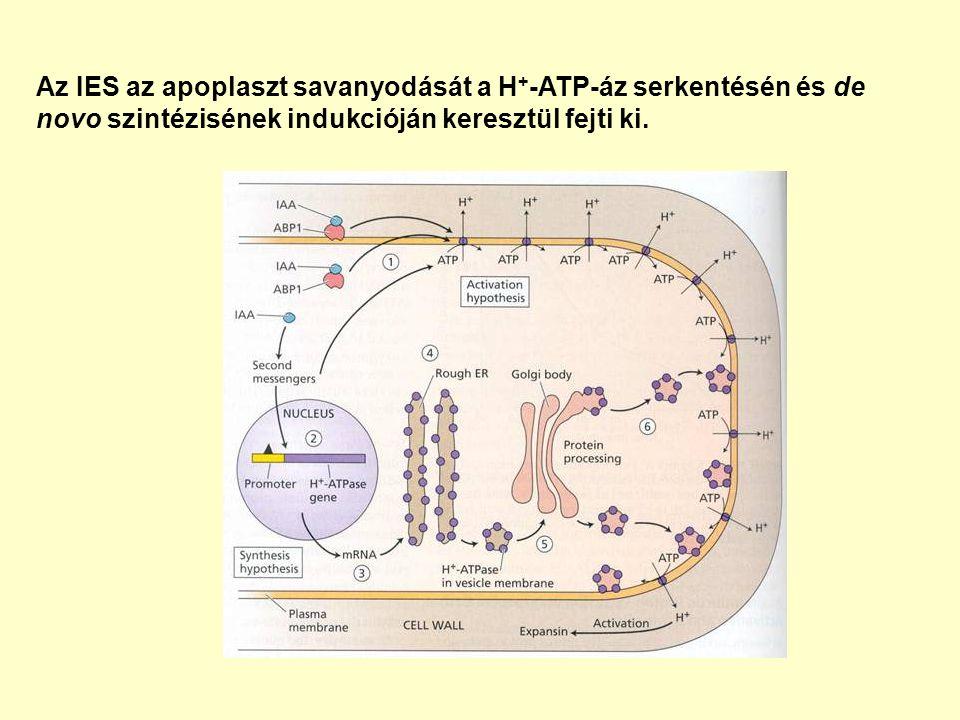 Az IES az apoplaszt savanyodását a H+-ATP-áz serkentésén és de novo szintézisének indukcióján keresztül fejti ki.