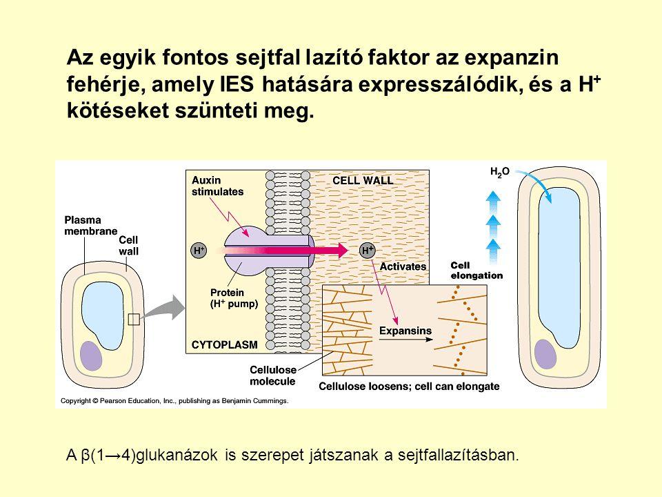 Az egyik fontos sejtfal lazító faktor az expanzin fehérje, amely IES hatására expresszálódik, és a H+ kötéseket szünteti meg.