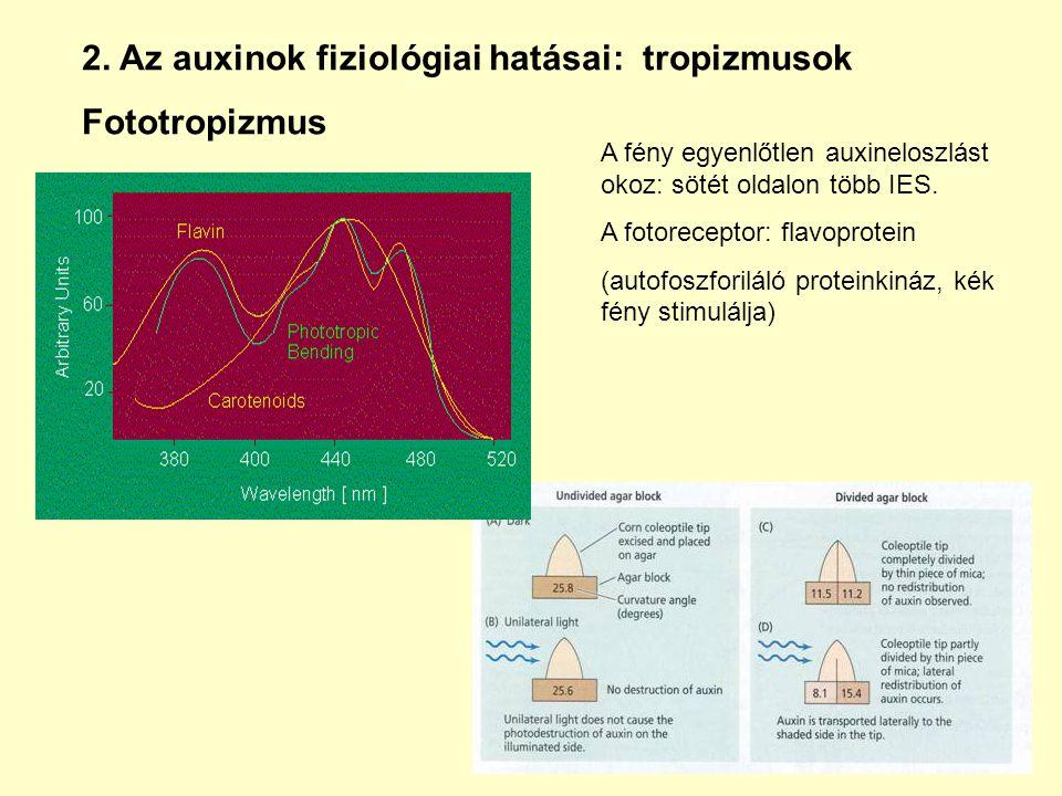 2. Az auxinok fiziológiai hatásai: tropizmusok Fototropizmus