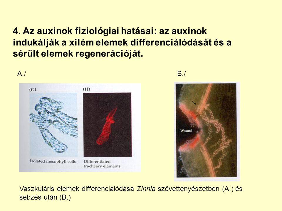 4. Az auxinok fiziológiai hatásai: az auxinok indukálják a xilém elemek differenciálódását és a sérült elemek regenerációját.