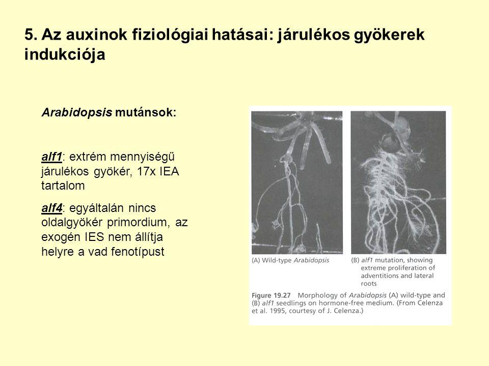 5. Az auxinok fiziológiai hatásai: járulékos gyökerek indukciója