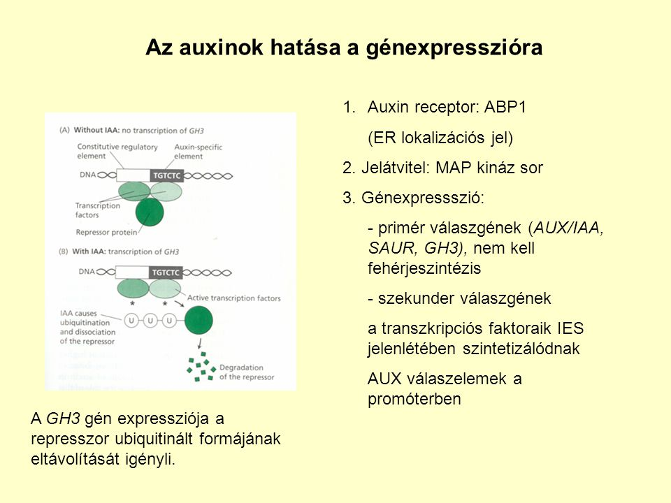 Az auxinok hatása a génexpresszióra