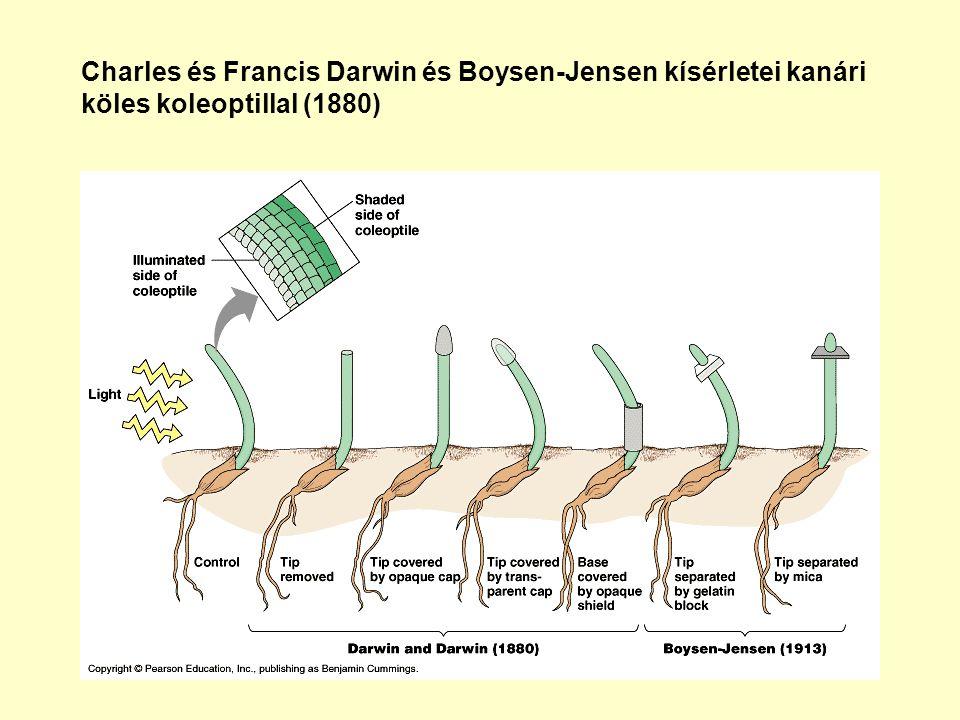Charles és Francis Darwin és Boysen-Jensen kísérletei kanári köles koleoptillal (1880)