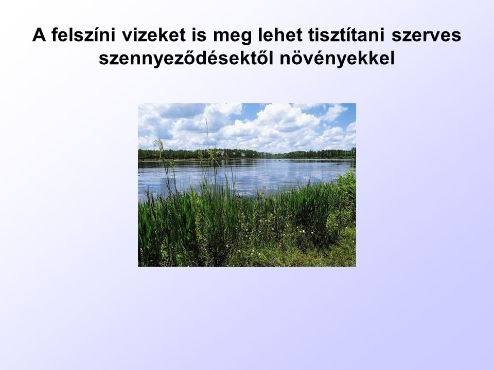 A felszíni vizeket is meg lehet tisztítani szerves szennyeződésektől növényekkel
