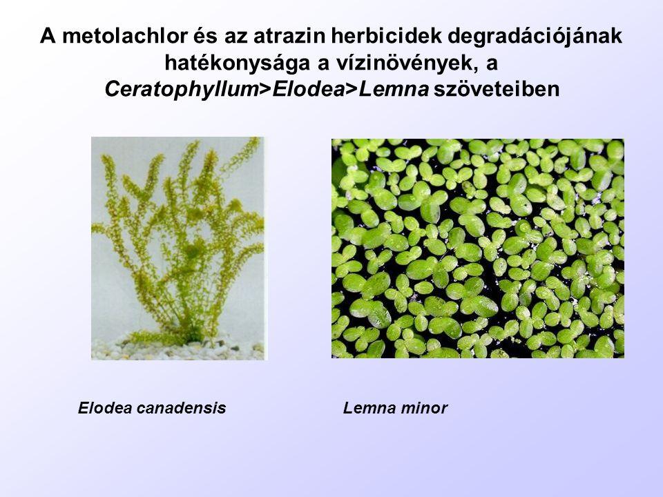 A metolachlor és az atrazin herbicidek degradációjának hatékonysága a vízinövények, a Ceratophyllum>Elodea>Lemna szöveteiben