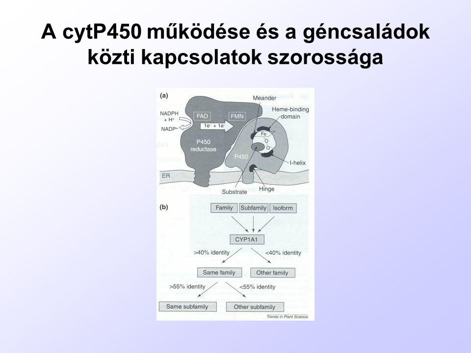 A cytP450 működése és a géncsaládok közti kapcsolatok szorossága