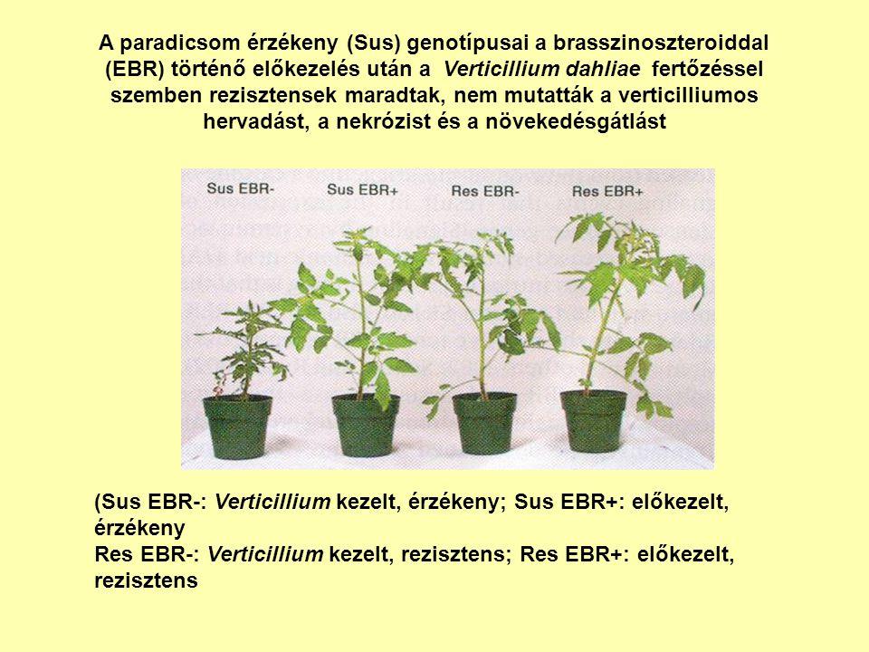 A paradicsom érzékeny (Sus) genotípusai a brasszinoszteroiddal (EBR) történő előkezelés után a Verticillium dahliae fertőzéssel szemben rezisztensek maradtak, nem mutatták a verticilliumos hervadást, a nekrózist és a növekedésgátlást