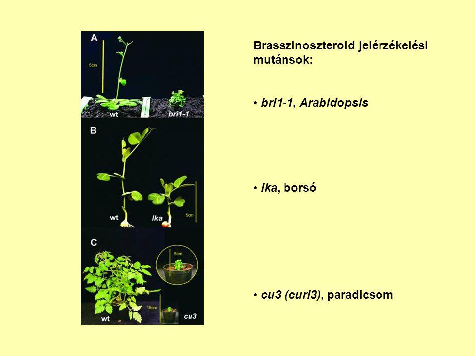 Brasszinoszteroid jelérzékelési mutánsok:
