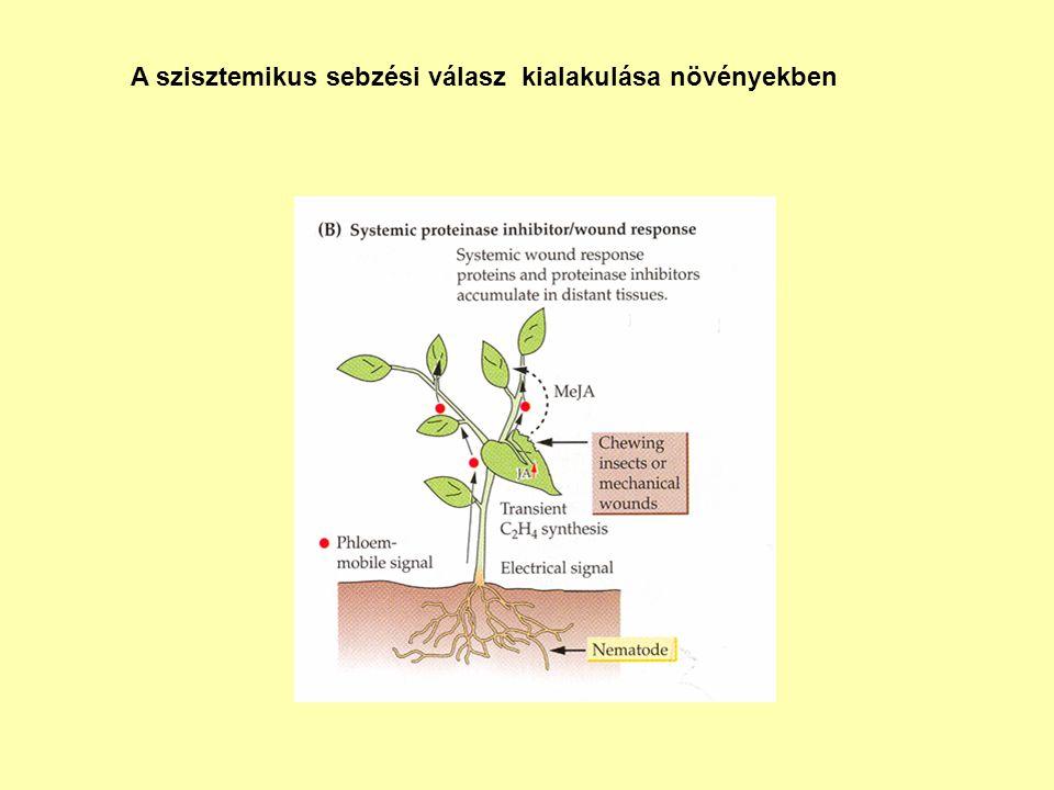 A szisztemikus sebzési válasz kialakulása növényekben