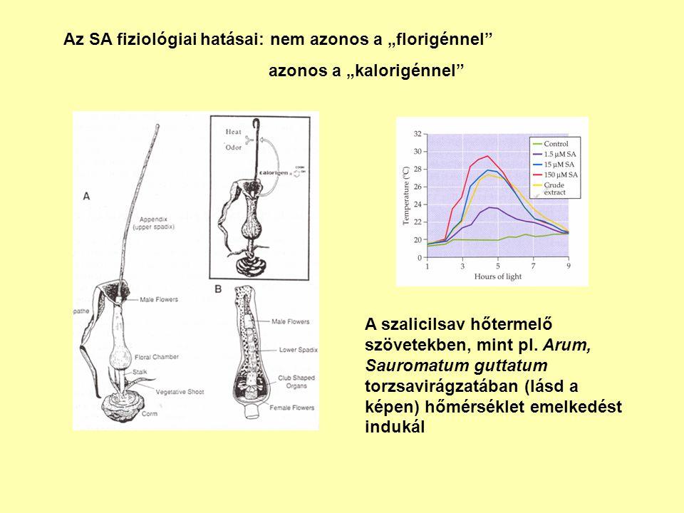 """Az SA fiziológiai hatásai: nem azonos a """"florigénnel"""
